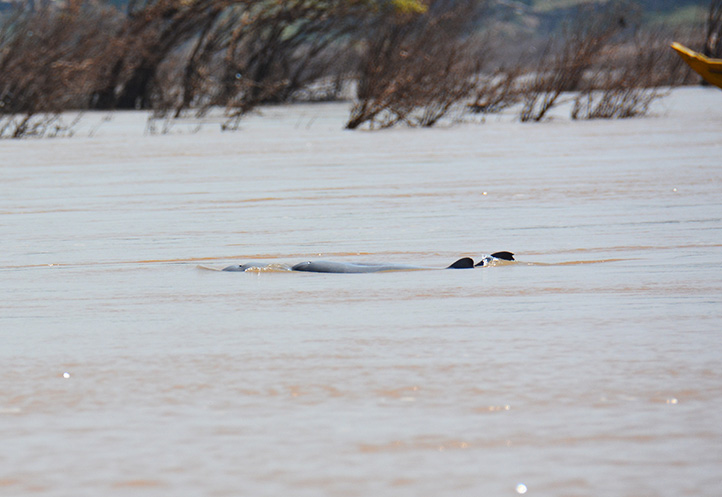 freshwater-irrawaddy-dolphins